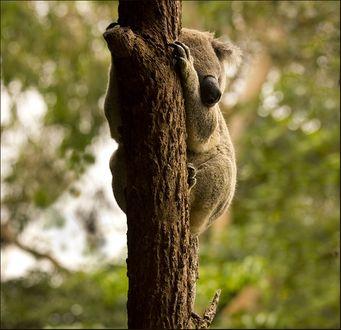 Фото Работа как хочу - так и сплю, коала спит на дереве. Фотограф Вера