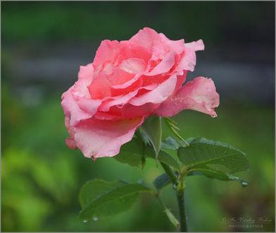Фото Розовая роза на размытом фоне, фотограф Optina