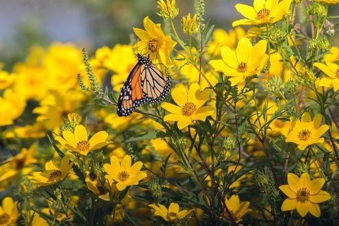 Фото Бабочка на желтых цветах