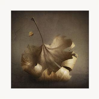 Фото Осенний кленовый лист крупным планом, фотограф polycon