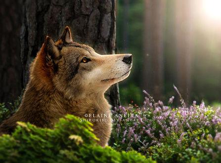 Фото Волк с золотыми глазами, by Shirokibo