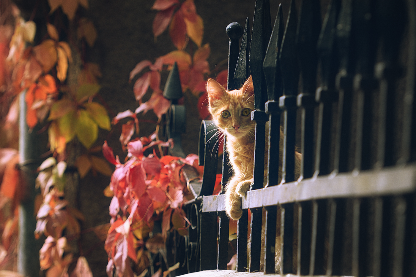 Фото Рыжий котенок на ограде. Фотограф Вьюшкин Игорь