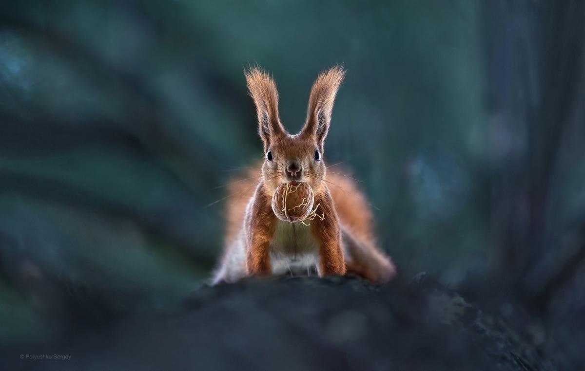 Фото Белка с орехом во рту, фотограф Sergey Polyushko