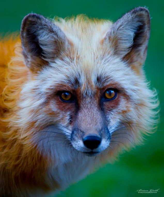 Фото Рыжая лиса крупным планом, фотограф Brian Guth
