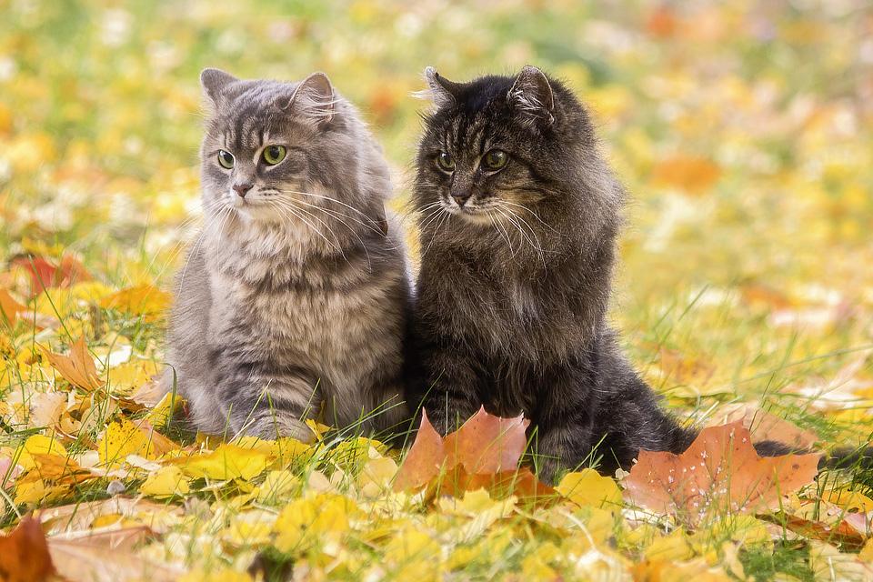 Фото Две кошки сидят на осенних листьях и смотрят в сторону, by Daykiney