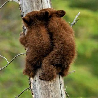 Фото Два медвежонка на дереве