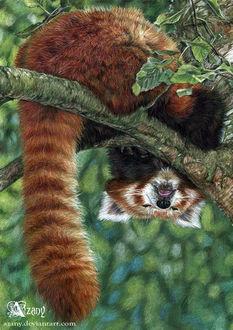Фото Сонная красная панда, by Azany