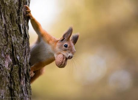 Фото Белка с орехом во рту на дереве. Фотограф Полюшко Сергей
