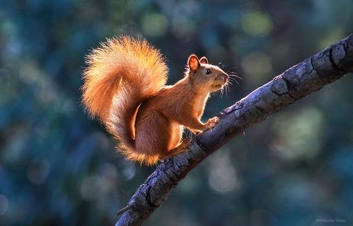 Фото Белочка на дереве. Фотограф Полюшко Сергей