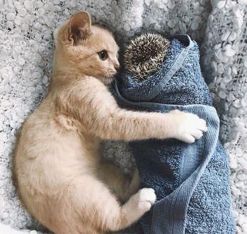 Фото Котенок лежит на покрывале и обнимает завернутого в полотенце ежика