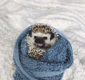 Фото Ежик завернутый в полотенце