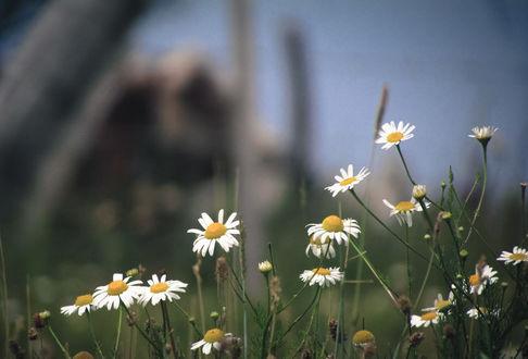 Фото Полевые ромашки, фотограф Gaston Lagos