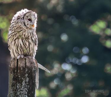 Фото Уральская сова на пне, by LewiARTs