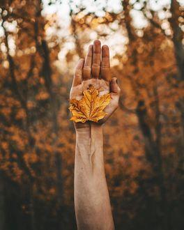 Фото Осенний лист клена на руке человека