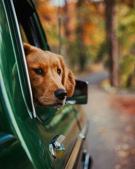 Фото Лабрадор - ретривер выглядывает из окошка авто