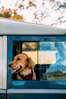 Фото Лабрадор - ретривер сидит в авто