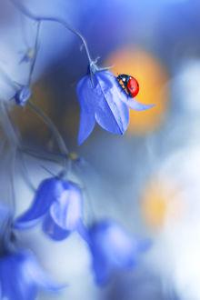 Фото Божья коровка на голубом колокольчике, фотограф Elena Andreeva