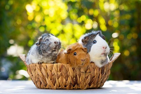 Фото Трое морских свинок в плетеной корзинке, by Marloeshi