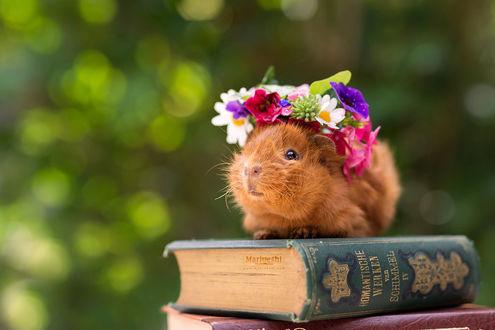 Фото Морская свинка в веночке сидит на стопке книг, by Marloeshi