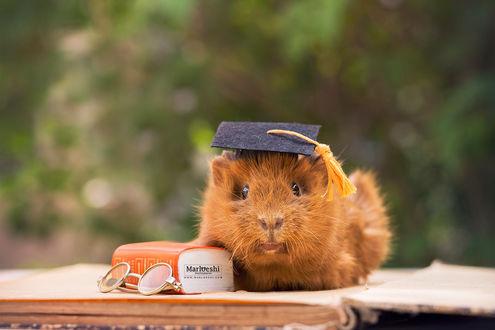 Фото Морская свинка сидит на открытой книге, by Marloeshi