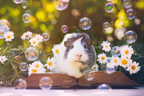 Фото Морская свинка в окружении мыльных пузырей сидит на открытой книге, by Marloeshi