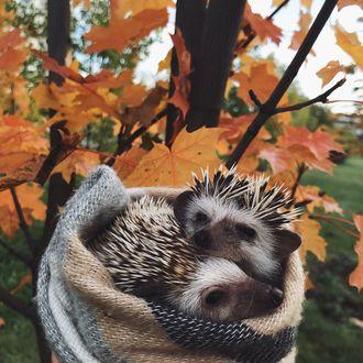Фото Ежики, закутанные в шарф на фоне осеннего дерева