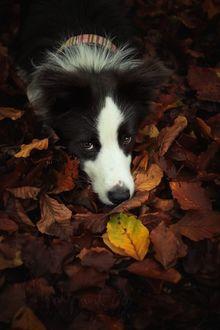Фото Пес породы Бордер-колли лежит на осенней листве