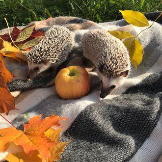 Фото Ежики на покрывале с яблоком