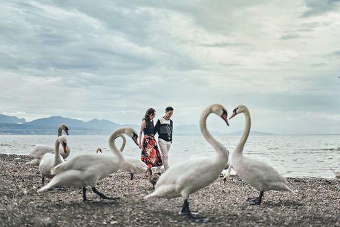 Фото Влюбленные гуляют по побережью с лебедями