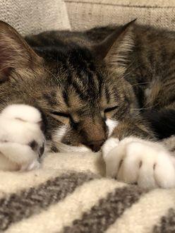 Фото Спящий серый кот
