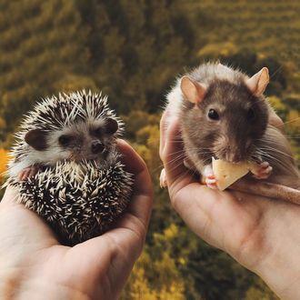 Фото Ежик и крыса с сыром в руках человека
