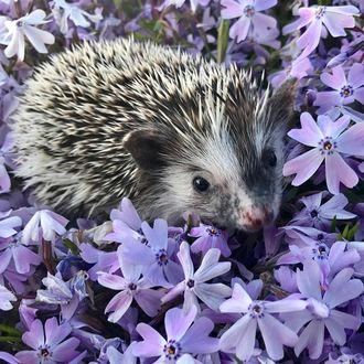 Фото Ежик среди сиреневых цветов