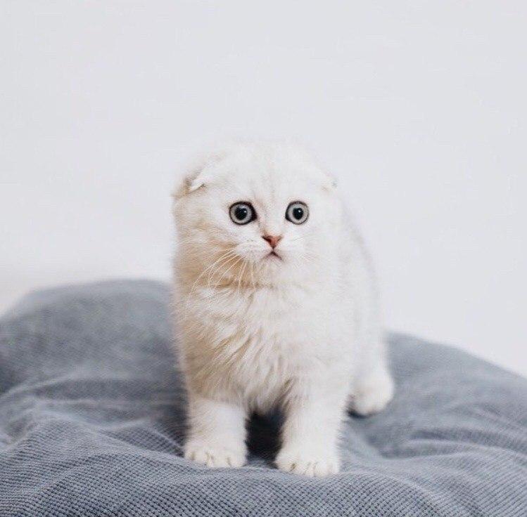 Фото Вислоухий котенок с удивленным выражением на мордочке стоит на подушке