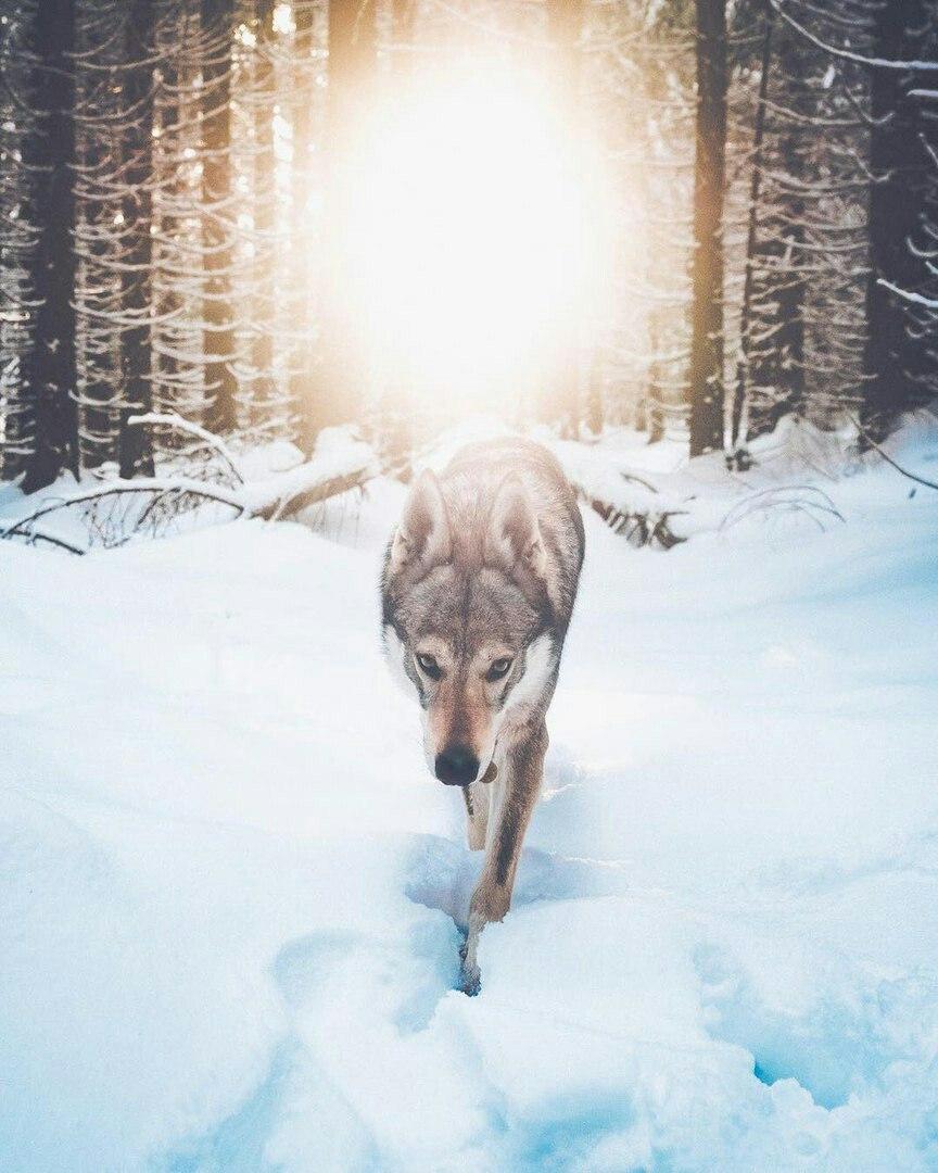 Фото Чешский волчак идет по снегу в зимнем лесу