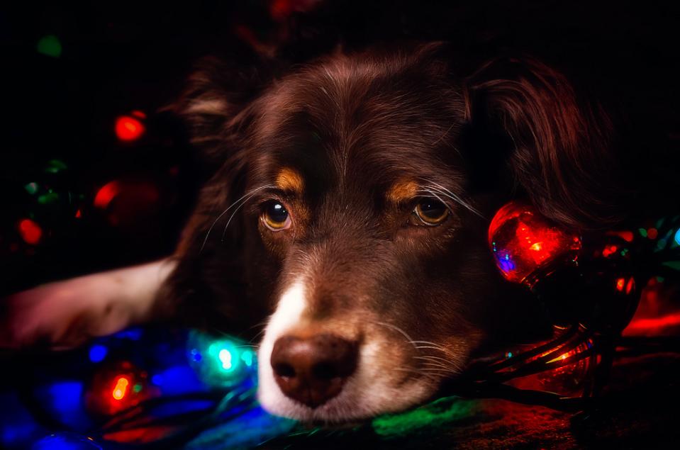 Фото Грустный пес породы Бордер-колли лежит на светящейся гирлянде в темноте, by Carmen Sisson