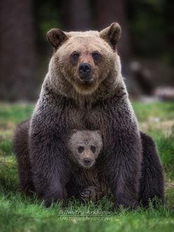 Фото Медведица со своим детенышем. Фотограф Дмитрий Архипов