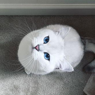 Фото Белая голубоглазая кошечка по кличке Коби смотрит вверх, сидя на полу