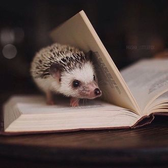 Фото Ежик на страницах открытой книги, by Masha_Littlefox