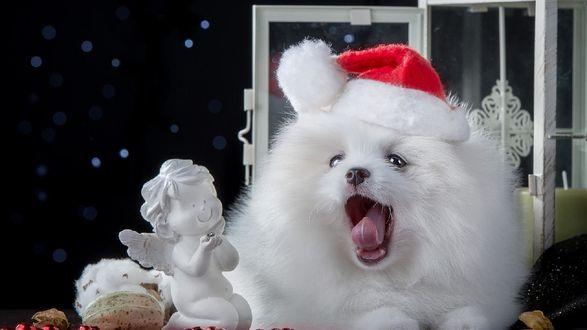 Фото Белый щенок породы самоедская лайка в новогодней шапочке, с открытой пастью, лежит рядом с игрушечным ангелочком