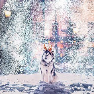 Фото Лайка с оленьими рожками на мордочке сидит на улице города в новогоднюю ночь