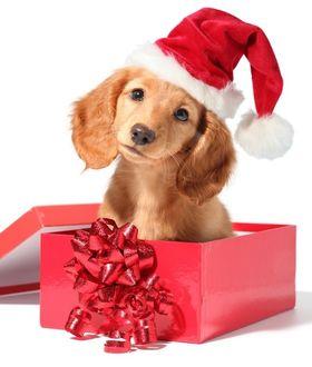 Фото Щенок в новогодней шапочке сидит в подарочной коробке