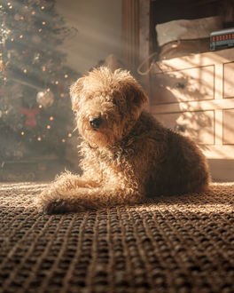 Фото Пудель лежит на полу в дневном свете, в комнате, где стоит елка, фотограф Adrian C. Murray