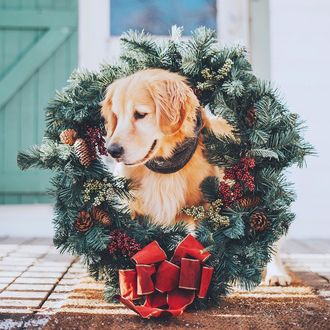 Конкурсная работа Лабрадор с новогодним венком сидит на крыльце дома