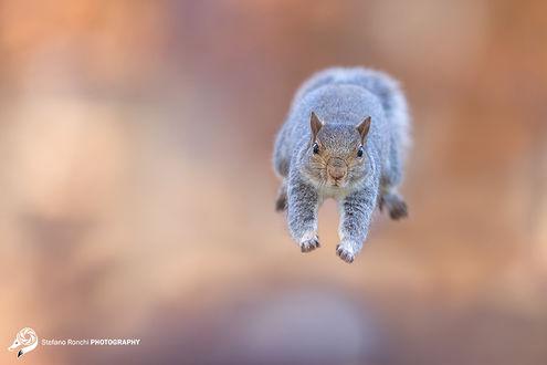 Фото Белка в прыжке, фотограф Stefano Ronchi
