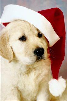 Фото Щенок золотистого ретривера в новогодней шапочке