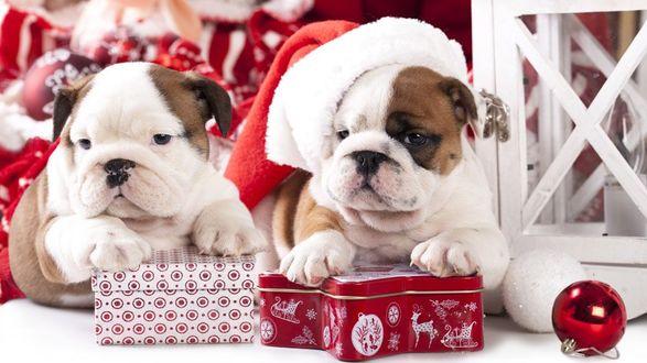 Фото Два щенка бульдога с новогодними подарками