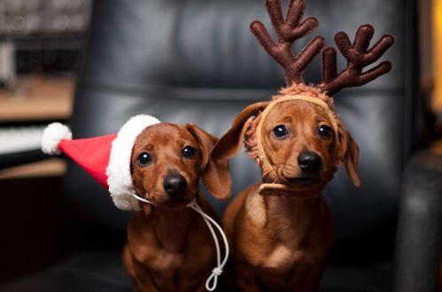 Фото Два щенка: один в новогоднем колпаке, другой в оленьих рогах, сидя на кресле