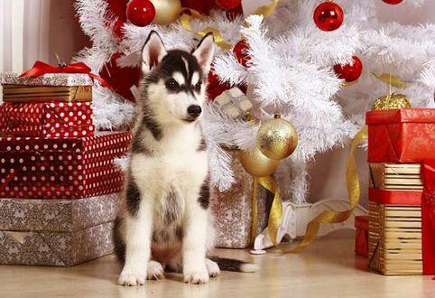 Фото Щенок хаски сидит рядом с подарками под елкой