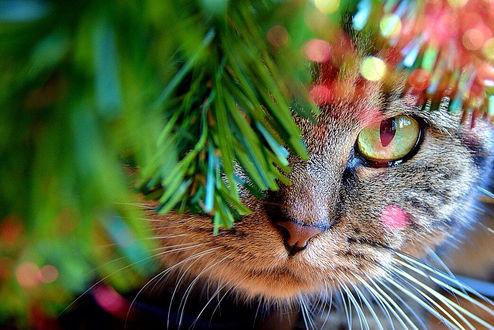 Фото Кошка выглядывает из-за елки, фотограф Lana Belinsky