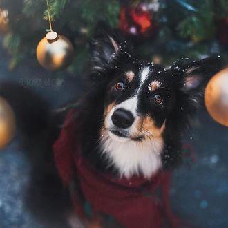 Фото Пес в бардовом шарфе сидит под новогодней елкой
